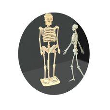 СДМ «Скелет человека».