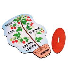 Строение плодового растения «Малина»